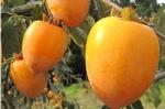 柿渋2.jpg